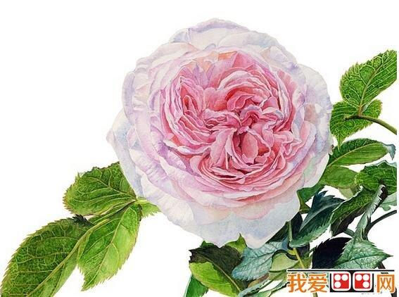漂亮的玫瑰花水彩画教程步骤详解 七、整体铺色完后,开始加强细节,花朵下方可以加深一些,不然花朵的分量会有点轻。 在春天画一幅漂亮的玫瑰花水彩画挂在自己的房间,是不是别有一番风味呢?以上就是关于漂亮的玫瑰花水彩画教程步骤详解的全部内容,感兴趣的朋友请继续关注我爱画画网。