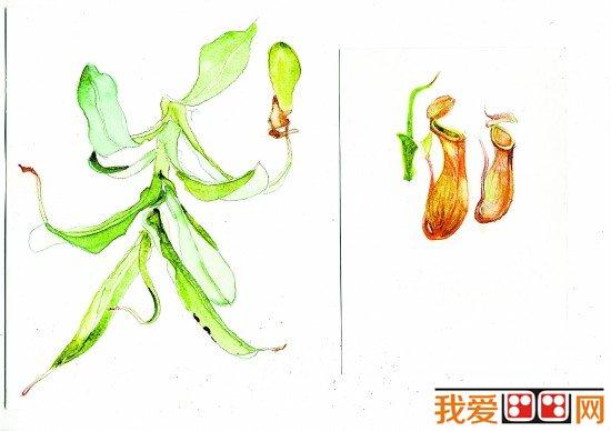 中学生植物插画图片欣赏(2)