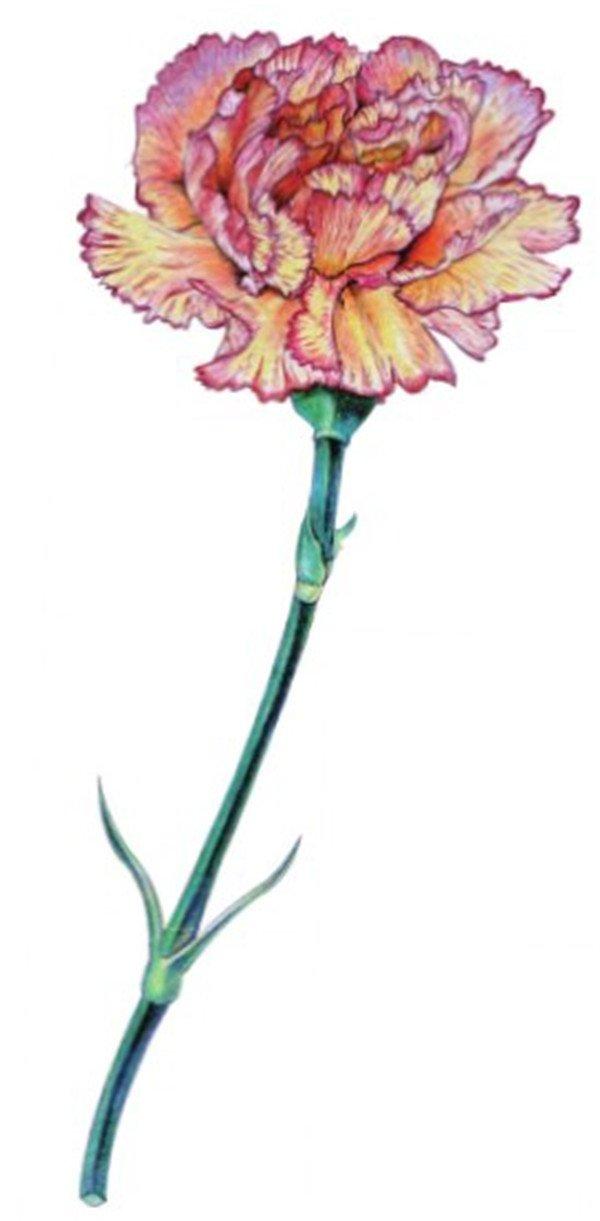 彩铅康乃馨的绘画步骤(4)