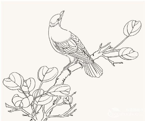 工笔黄鹂鸟入门绘画教程
