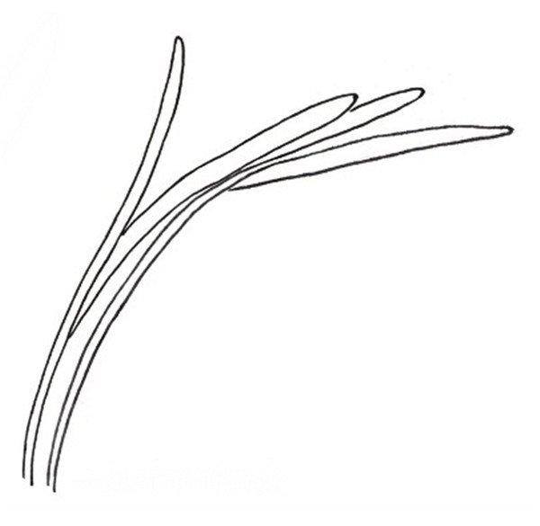 画白描兰花绘画步骤教程 3图片