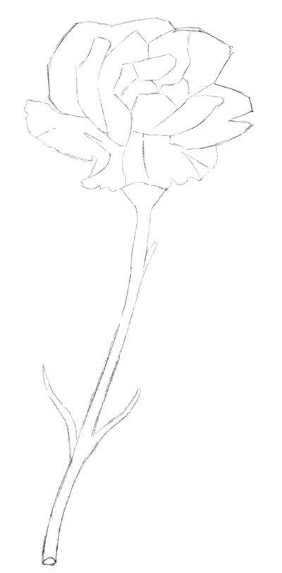 彩铅康乃馨的绘画步骤(5)