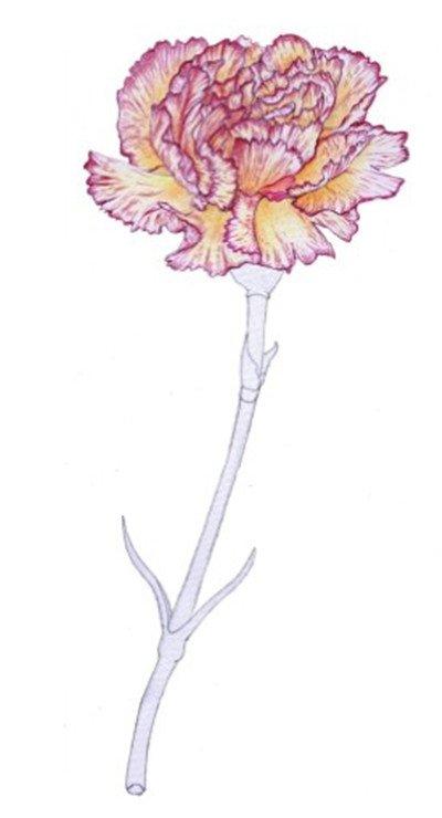 彩铅康乃馨绘画步骤四 4、 使用黄色为花瓣上基本色。  彩铅康乃馨绘画步骤五 5 、使用暗红色以排线条的方法绘制花瓣边缘以及花瓣上的纹路,花瓣靠近花蕊的地方使用橘黄色加深。  彩铅康乃馨绘画步骤六 6 、依照上步画法,使用红色丰富花边颜色,用橘红色加深暗部颜色。
