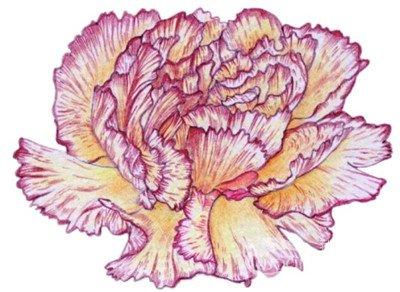 彩铅康乃馨画法