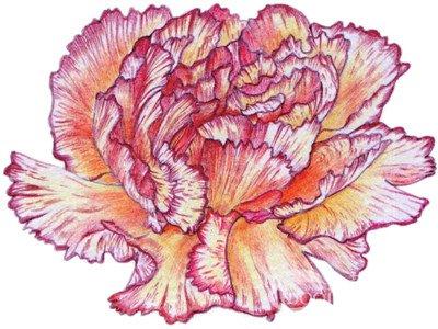 彩铅康乃馨的绘画步骤(6)