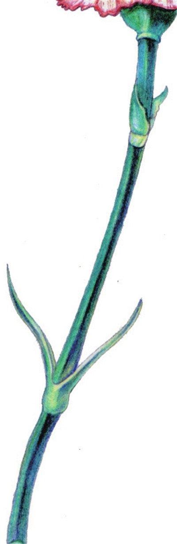彩铅康乃馨的绘画步骤(8)