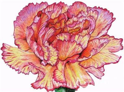 彩铅康乃馨的绘画步骤(10)