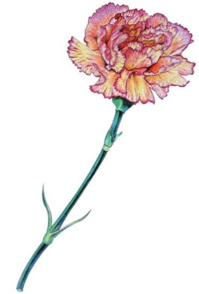 彩铅康乃馨的绘画步骤(11)