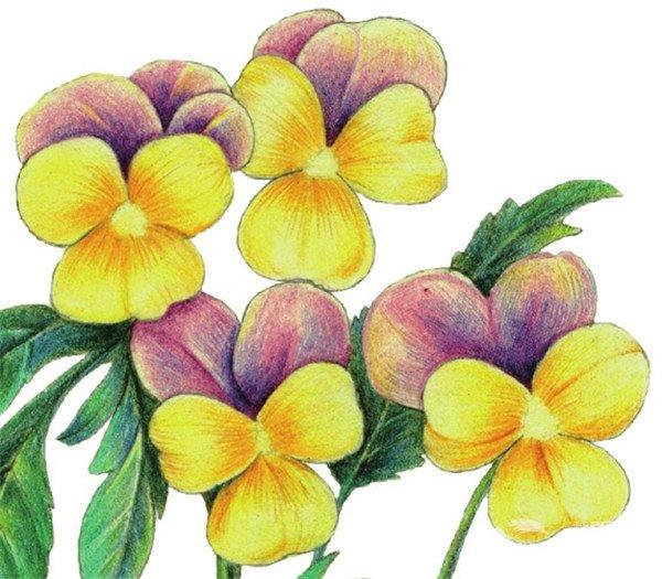 彩铅三色堇的绘画步骤五 5、综合绿色、绿色和绿色为叶、茎上色。  彩铅三色堇的绘画步骤六 6、使用黄色和紫色深入刻画花朵,花瓣中线和花边注意留白,花瓣重叠处的叶子周边应加深。  彩铅三色堇的绘画步骤七 7、深入刻画叶子暗部,使用颜色为绿色和绿色。  彩铅三色堇的绘画步骤八 8、绘制花瓣细节,使用土黄色绘制花瓣上的脉络,再用蓝色和黄色丰富紫色花瓣细节。