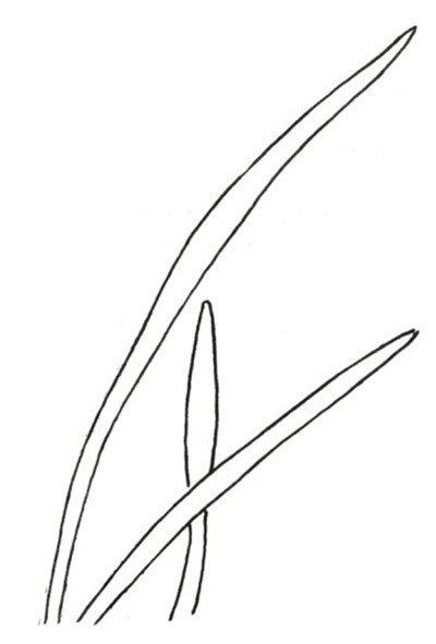 5,单片叶子的形态    6,组合叶子的形态    二,马兰花白描绘画要点