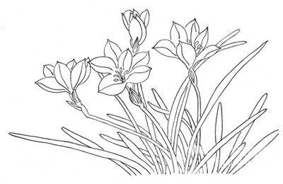 工笔画 > 白描马兰花的绘画技法(2)      4,枝干形态    5,单片叶子的