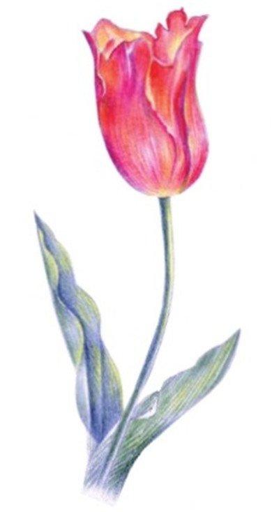 水粉花卉画入门:郁金香的绘画步骤教程(3)