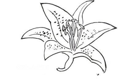白描百合花绘画教程(2)