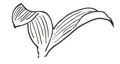 学画画 其他绘画教程 > 白描百合花绘画步骤(2)      4,叶子的形态