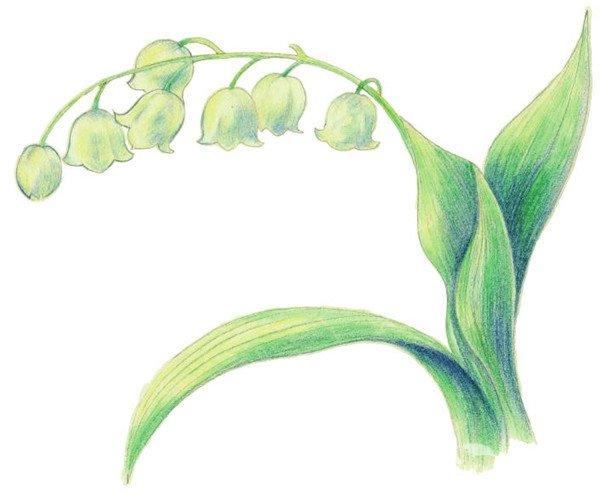 水粉画教程 水粉静物画 > 水粉铃兰花绘画技法(4)      3,完善线稿,擦