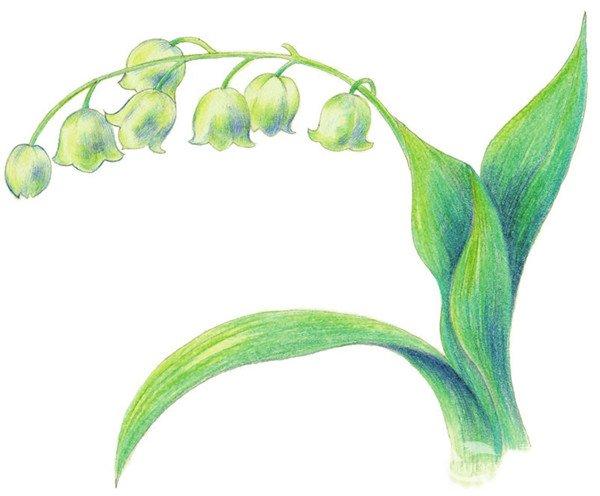 3、完善线稿,擦除多余线条。  铃兰花水粉画绘画步骤四 4、选择黄色为铃兰上色,再使用蓝色填充暗部颜色。  铃兰花水粉画绘画步骤五 5、使用同样的方法绘制其余花朵的颜色,再综合绿色和黄绿色填充花茎颜色。  铃兰花水粉画绘画步骤六 6、综合绿色和绿色为铃兰花的叶子上色。  铃兰花水粉画绘画步骤七 7、使用绿色为叶子上色,用黄绿色和蓝色绘制花朵细节。  铃兰花水粉画绘画步骤八 8、使用黄色提升叶子的亮部,综合棕色和绿色深入刻画叶子暗部的颜色。 【说一说】绘制叶子时,为了使画面更细致,线条走向要与叶脉一致。