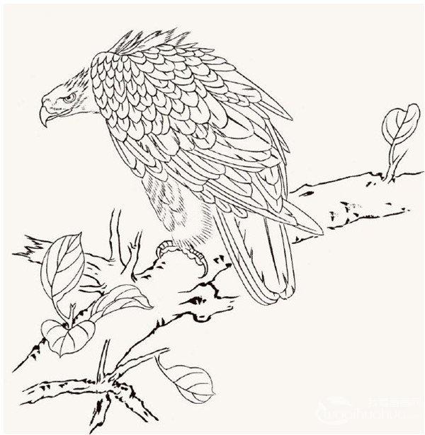 工笔画老鹰绘画步骤一 第一步:用重墨勾嘴、眼、脚、硬羽和树的枝干,其余均用淡墨勾出。  工笔画老鹰绘画步骤二 第二步:用中墨分染全身的羽毛,其中飞羽和尾羽的墨色要比其他羽毛重一些,用朱磦分染叶子。  工笔画老鹰绘画步骤三