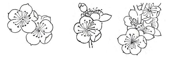 白描梅花的绘画步骤