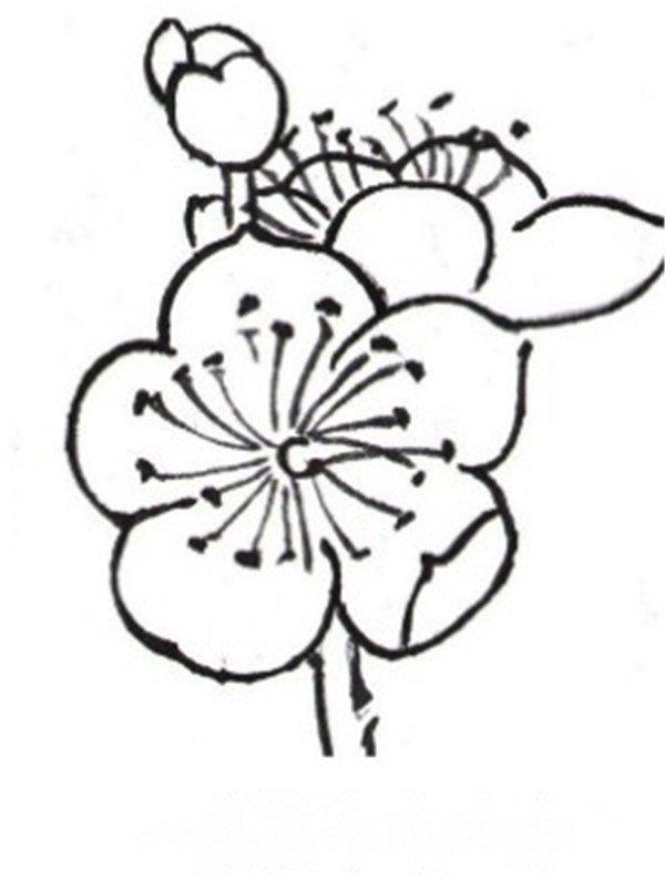 白描梅花的绘画步骤(2)