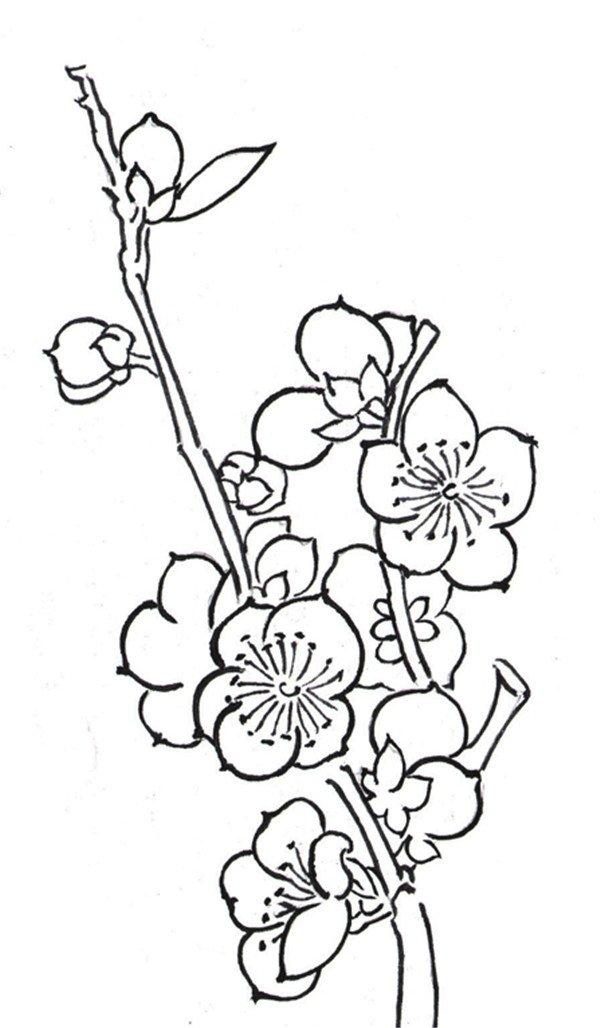 白描梅花的绘画步骤 3