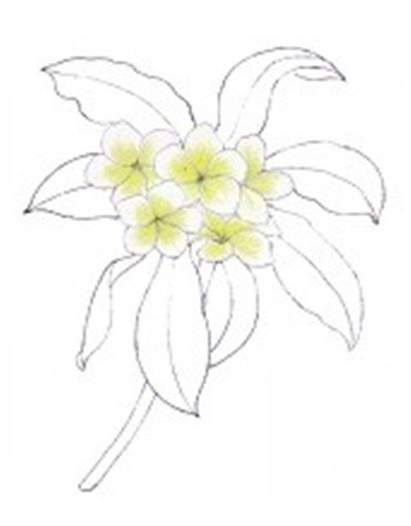 一, 水粉画鸡蛋花的绘画步骤    1,绘制外部形态    2,将线稿完善