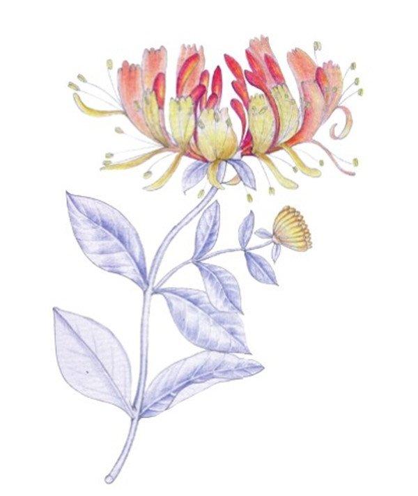 水粉金银花花瓣渐变