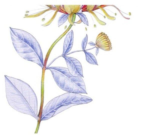 水粉金银花的绘画技法 6