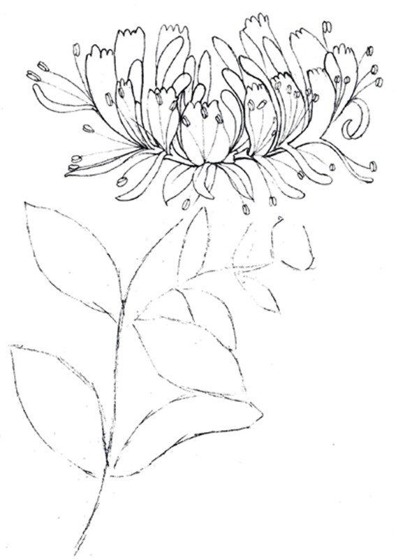 > 水粉金银花的绘画技法(4)      三,实战演练    1,使用2b 铅笔画出