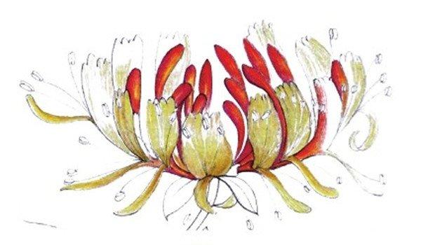 水粉画金银花绘画步骤四 4、综合黄色和黄色为部分花瓣上色,用土黄色为花瓣暗部上色。  水粉画金银花绘画步骤五 5、使用黄色、橘红色和橘黄色为花瓣上色,用红色填充其暗部颜色。  水粉画金银花绘画步骤六 6、使用为红色继续绘制花朵部分。  水粉画金银花绘画步骤七 7、为叶子上基本色,使用颜色为蓝色,再用橘黄色和黄色为花蕊和花苞上色。