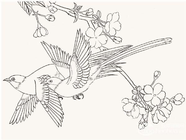 工笔绶带鸟的绘画步骤入门教程
