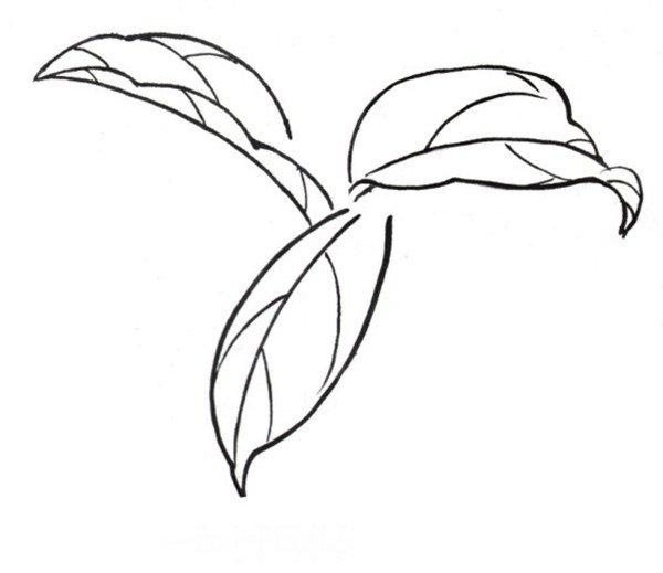 白描大理茶的绘画步骤(4)_学画画_我爱画画网