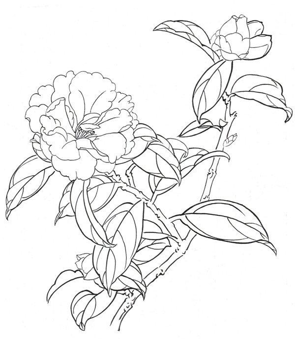 白描大理茶的绘画步骤 6