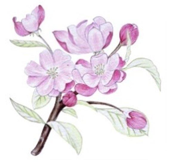 水粉花卉画入门 海棠花的绘画步骤教程 2