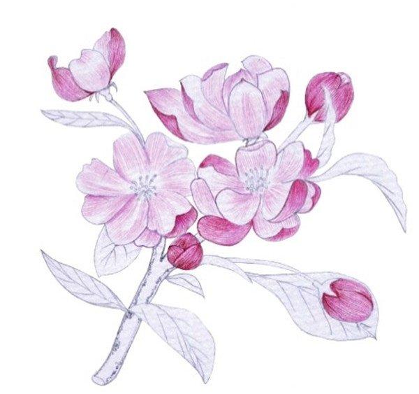 水粉花卉画入门:海棠花的绘画步骤教程(4)