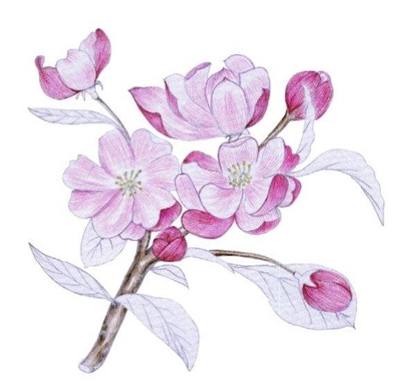 水粉花卉画入门 海棠花的绘画步骤教程 4图片