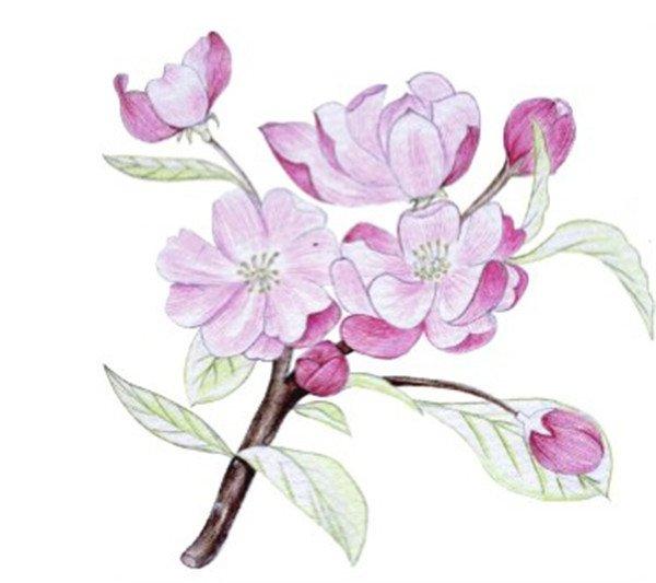 水粉花卉画入门 海棠花的绘画步骤教程 4