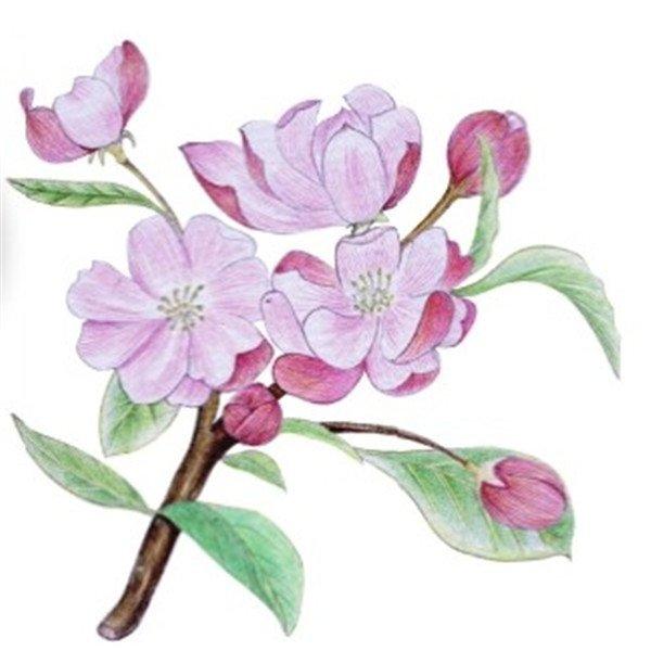 水粉花卉画入门 海棠花的绘画步骤教程 5