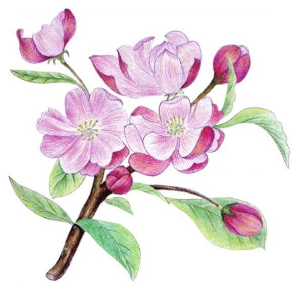 水粉花卉画入门:海棠花的绘画步骤教程(5)