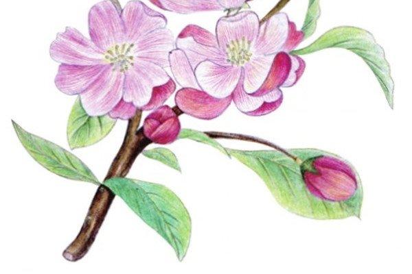 水粉花卉画入门:海棠花的绘画步骤教程