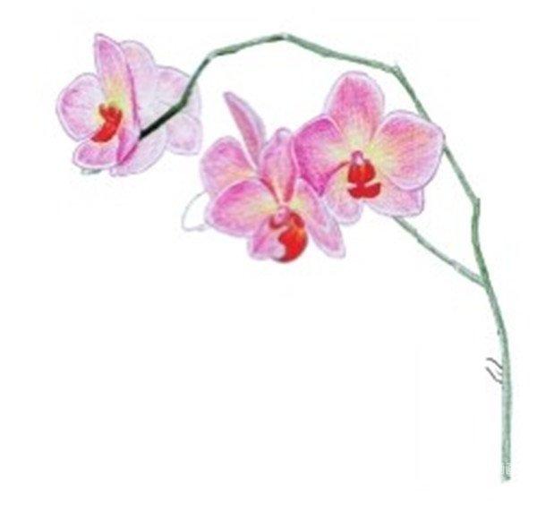 水粉花卉画入门 水粉兰花的绘画步骤教程 2