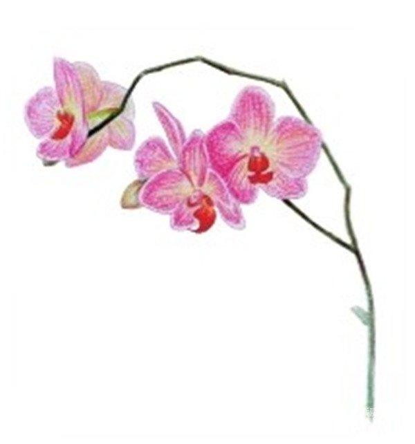 水粉花卉画入门:水粉兰花的绘画步骤教程(3)