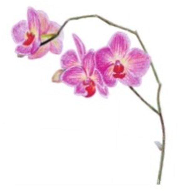 水粉花卉画入门 水粉兰花的绘画步骤教程 3