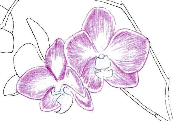 水粉花卉画入门:水粉兰花的绘画步骤教程(4)