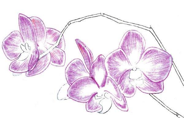 水粉画兰花绘画步骤四 4、接着使用红色和红色完成其余花朵的填充。  水粉画兰花绘画步骤五 5、填充花蕊颜色,使用颜色为黄色和红色。  水粉画兰花绘画步骤六 6、花蕊的填充颜色为红色和红色。 【说一说】绘制花瓣时,尽量使用同一方向线条绘制。