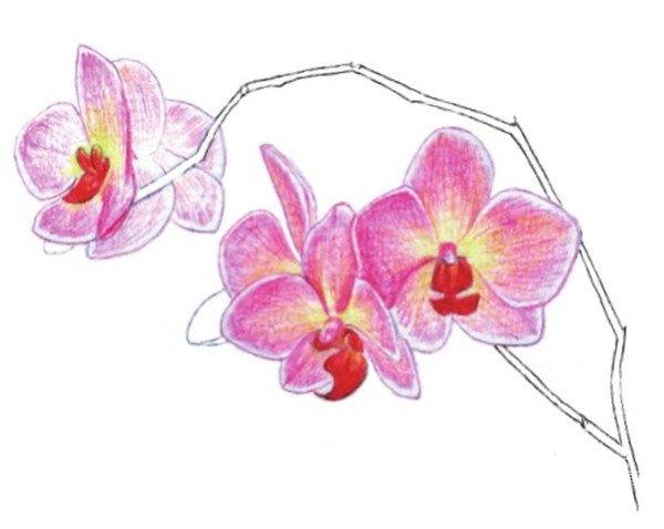 水粉花卉画入门 水粉兰花的绘画步骤教程 5