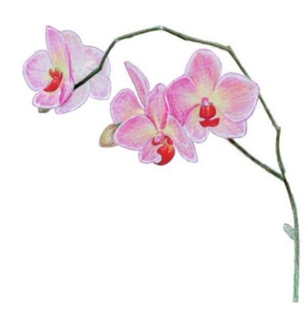 水粉花卉画入门 水粉兰花的绘画步骤教程 6