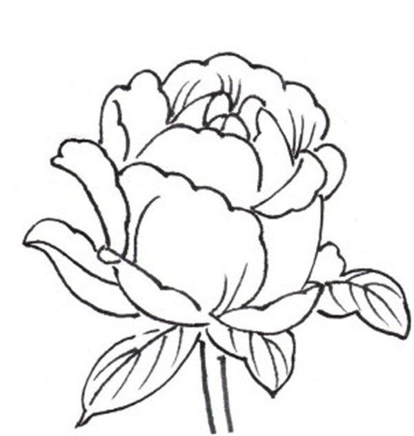 白描月季花的绘画步骤图片
