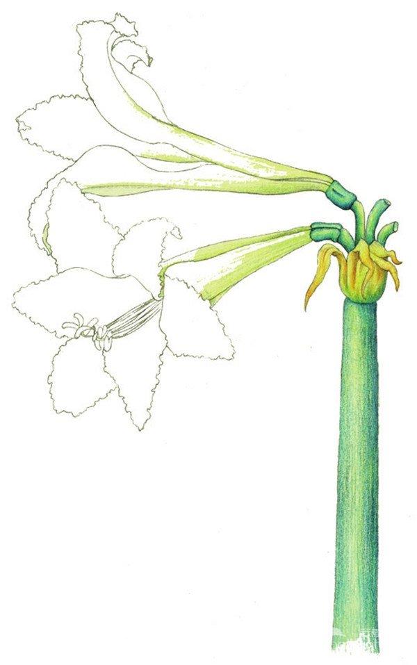 > 水粉朱顶红的绘画步骤(6)      6,选择黄绿色大笔触斜斜地为花瓣及