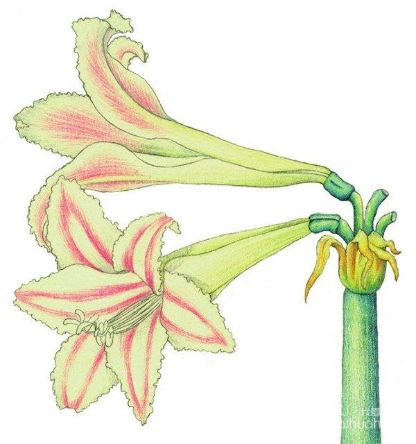 水粉画朱顶红绘画步骤六 6、选择黄绿色大笔触斜斜地为花瓣及花茎部分轻涂一层颜色。  水粉画朱顶红绘画步骤七 7、使用蓝色根据花茎的结构上色,再用灰色绘制花朵的阴影部分,使茎更有立体感。  水粉画朱顶红绘画步骤八 8、使用红色,按照花瓣纹理走向为花瓣上色。 【说一说】根据花朵的受光方向,将花茎的高光部分留白。