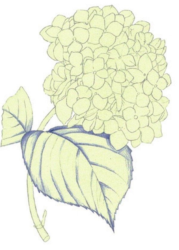 水粉绣球花的绘画技法(2)_水粉画教程_学画画_我爱